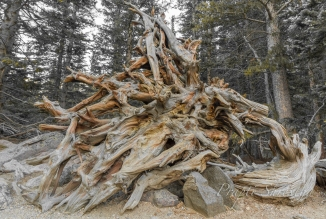 Aged old tree remains by the Bear Lake trail in Rocky Mountain National Park in Colorado