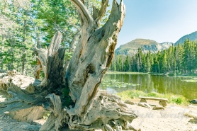 An old tree and bench in front of Nymph Lake at Rocky Mountain National Park on a sunny day