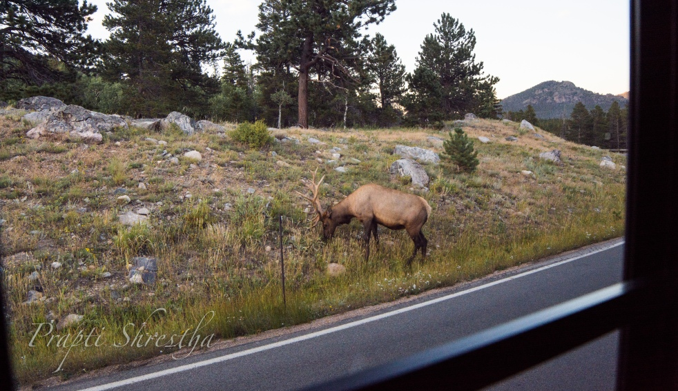 Elk grazing by the roadside on Bear Lake Rd in Rocky Mountain National Park, Colorado